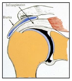 Les tendons de la coiffe des rotateurs